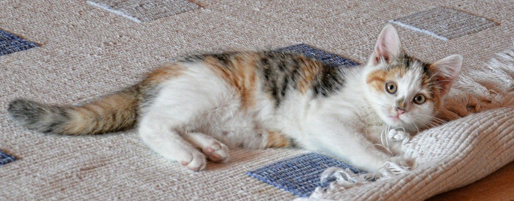 Pet cat plays on a carpet that has a rug tape to prevent the rug from sliding, slipping, or curling
