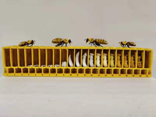 life cycle of bee model