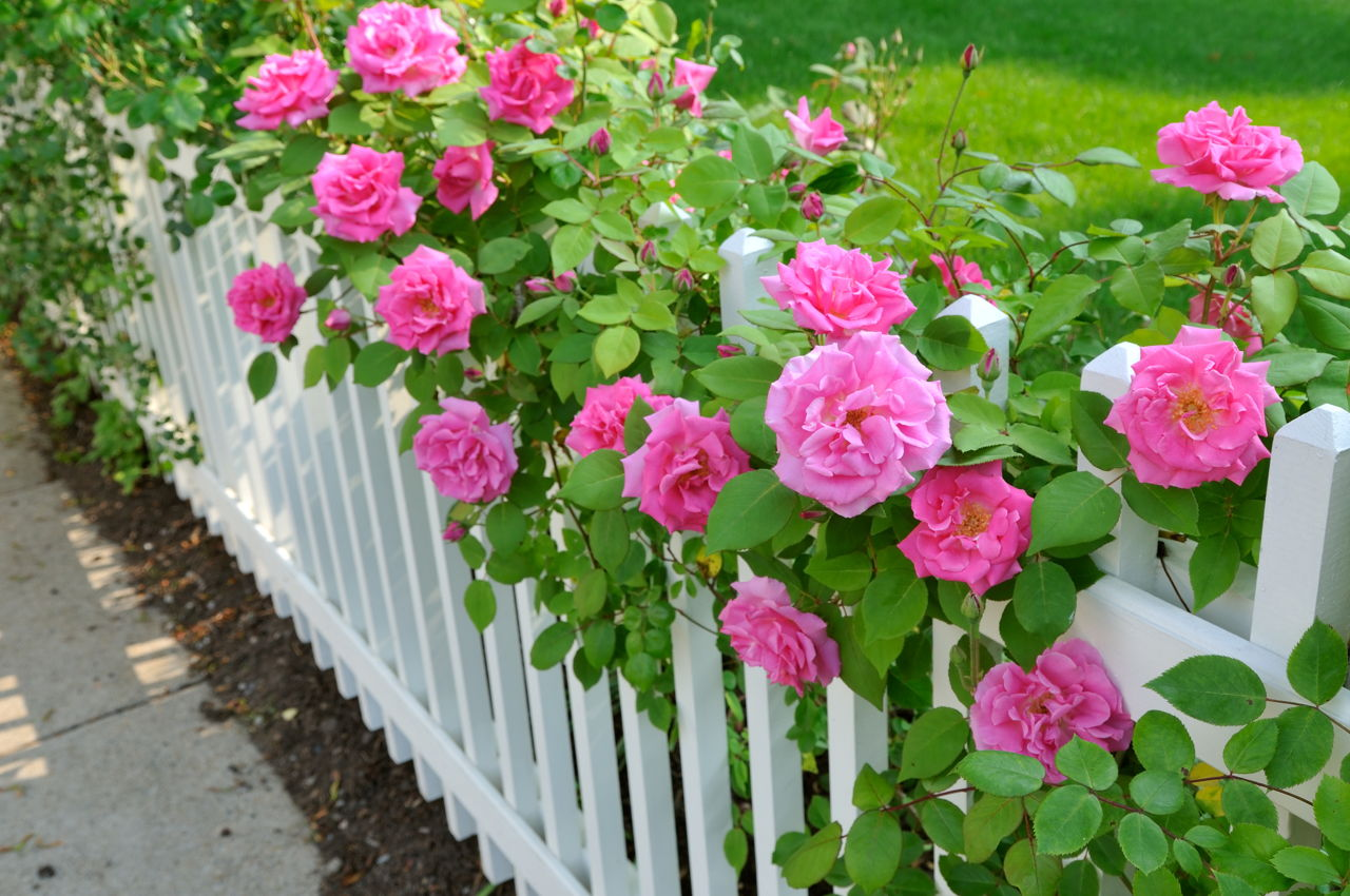 9 Tips to Grow Roses