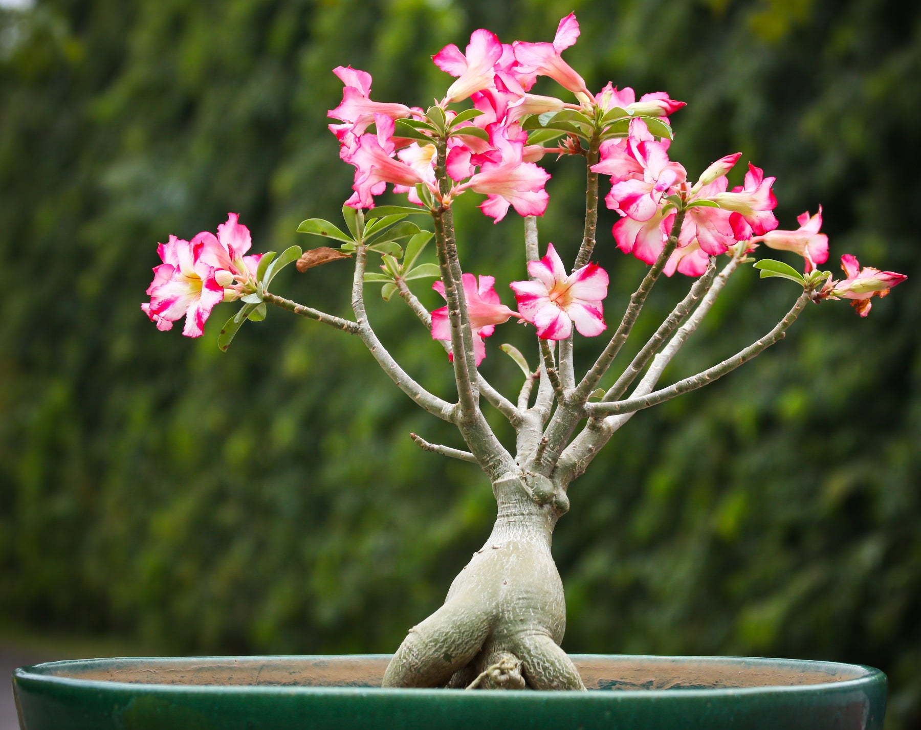 Adenium Care Guide: Essential Care Instructions