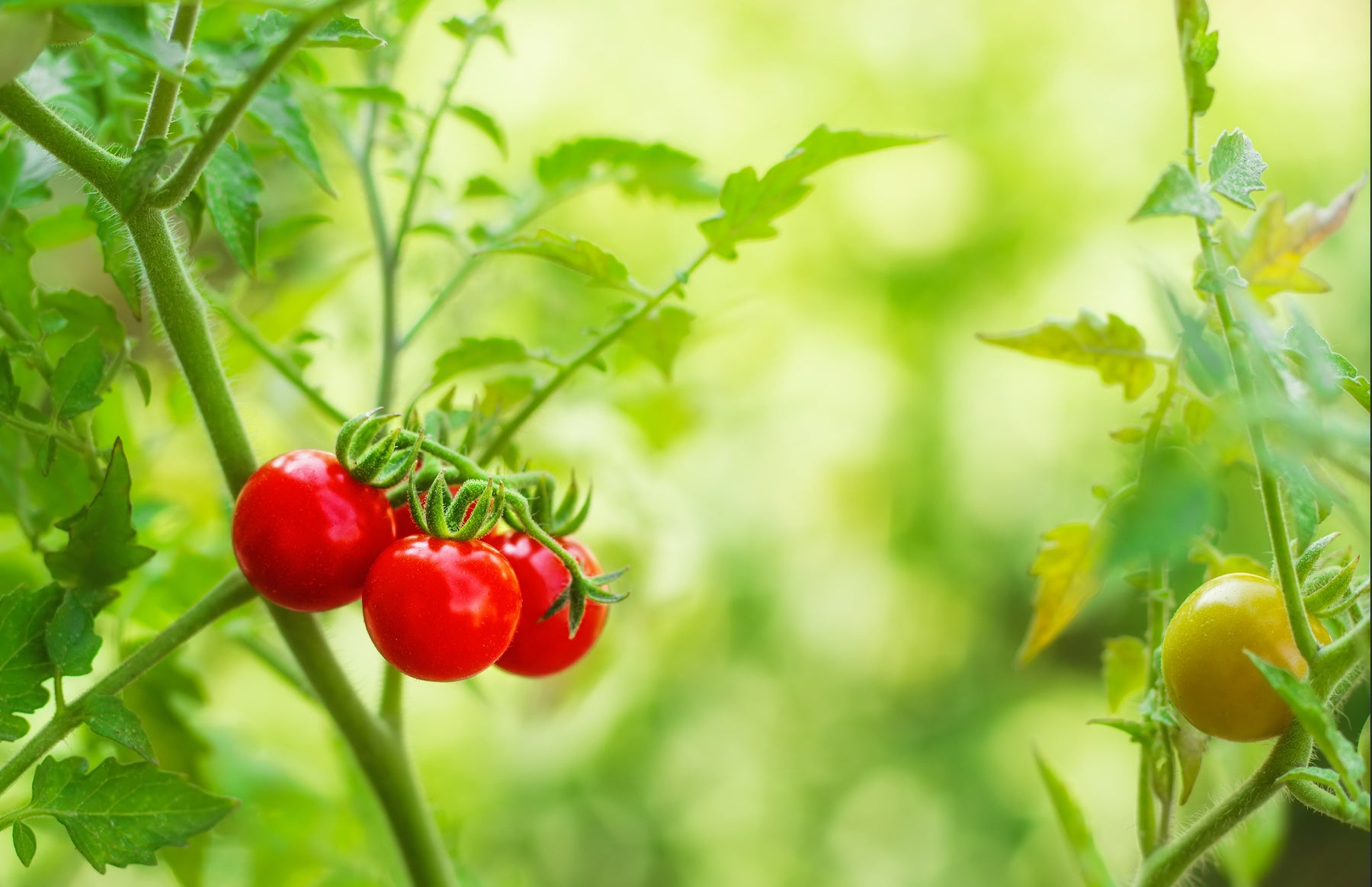 How to grow tomatoes in kitchen garden