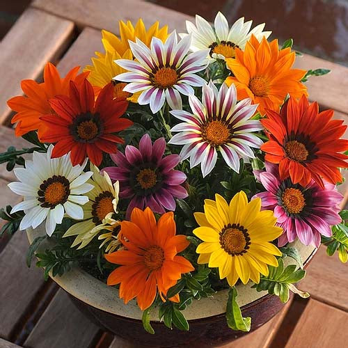 Gazania F1 New Day Hybrid- 20 Seeds