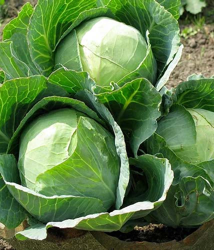 Cabbage Golden Acre- 100 Seeds