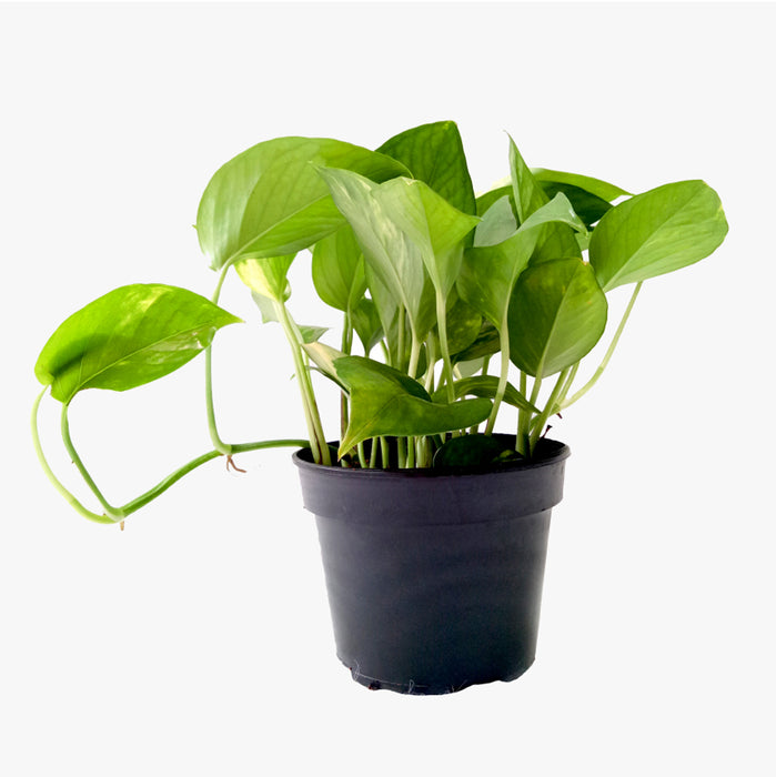 Money Plant for Money plant at home brings wealth, health, prosperity and happiness