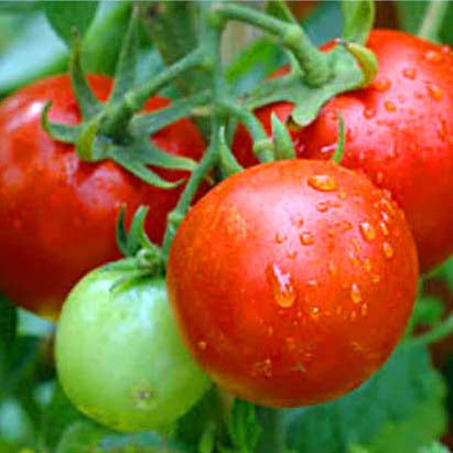 Tomato Fertilizer Organic, for Home, Balcony, Terrace & Outdoor Gardening