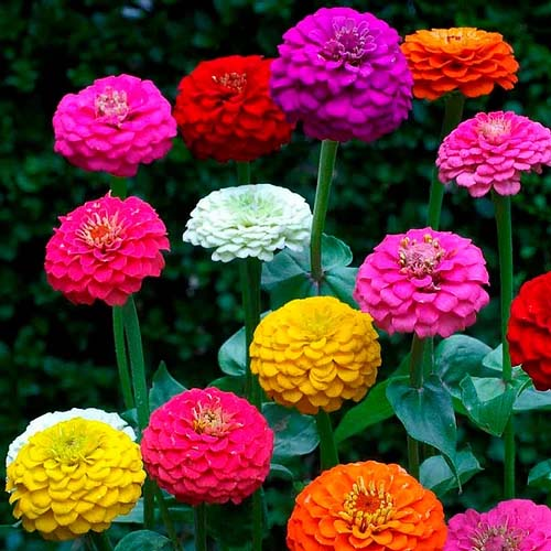 Zinnia elegans Lilliput Mixed- 100 Seeds