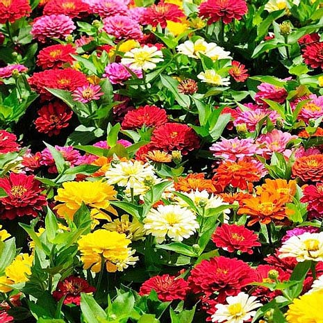 Zinnia Pulcino Dwarf Double Mix- 100 Seeds
