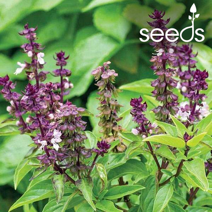 Basil Sweet Scented- 100 Seeds