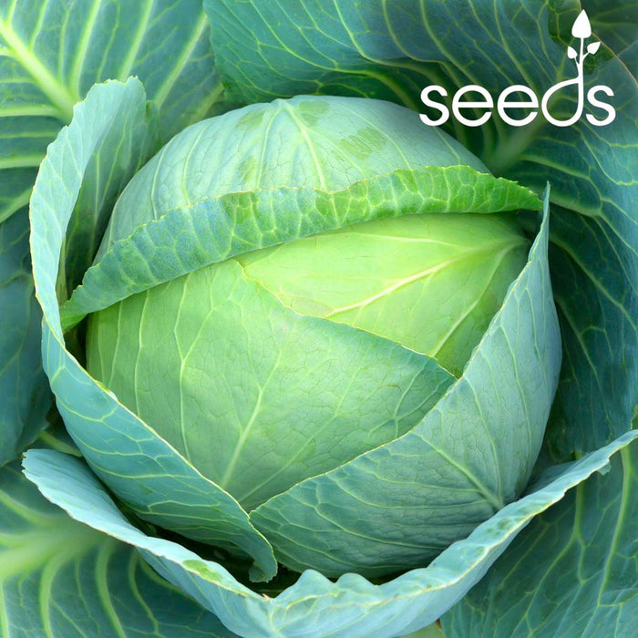 F1 Cabbage Deep Shikha- 50 Seeds