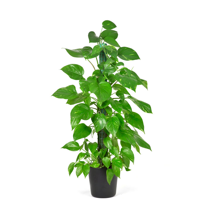 Combo Pack_Tulsi Fertilizer (900 gm) + Money Plant Fertilizer (900 gm) for Balcony, Terrace & Home Gardening