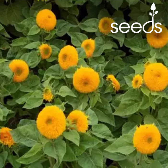 Sunflower Sungold Dwarf -50 Seeds