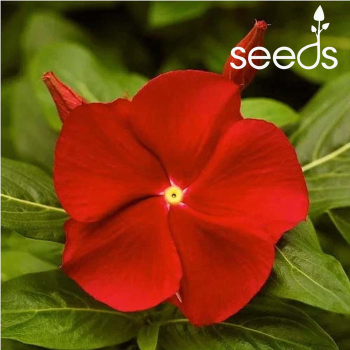 Vinca rosea Nana Red Cherry Dwarf-100 Seeds