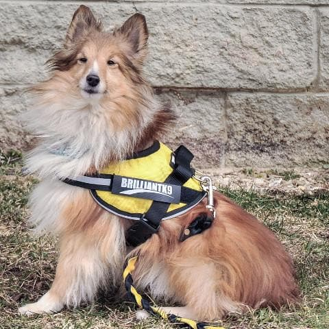No-Pull Small Dog Harness for Mini Aussies and Shelties - 16-20