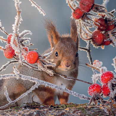 Parkinson's UK Squirrel and berries charity Christmas cards