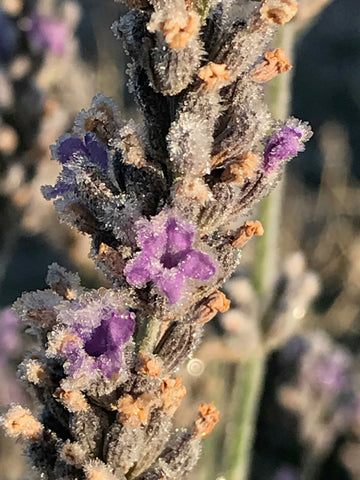 winter lavender