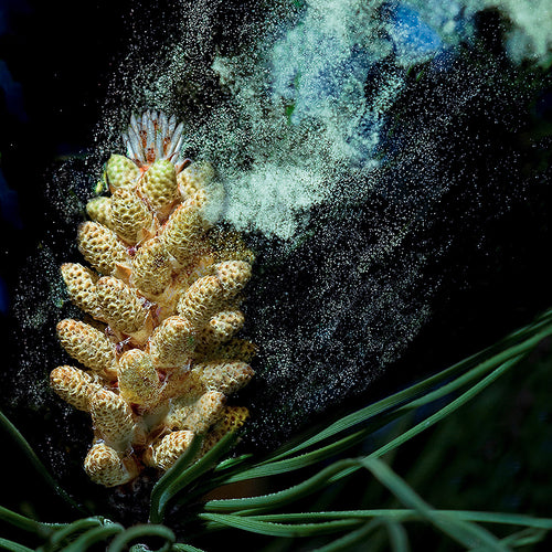 VitalFit Source: Energizing Pine Pollen