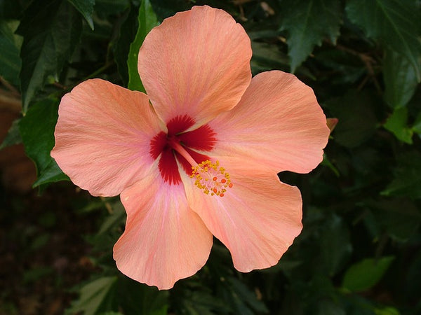 Hibiscus Benefits for Beautiful Skin