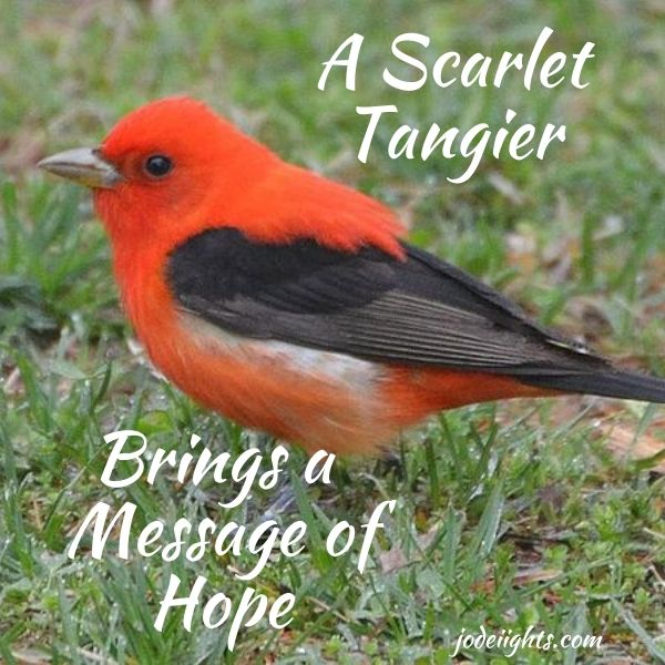 A Scarlet Tangier Brings a Message of Hope