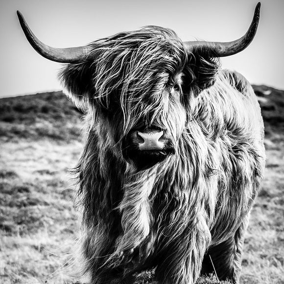 BOVINE BREEZE MONO - CANVAS PRINT