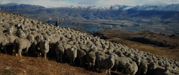 4 Amazing Facts About Merino Wool