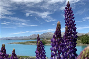 Disappearing Lupins in Tekapo