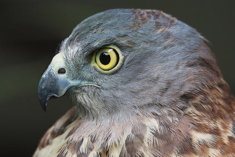Chocolate - Speckled Hawk