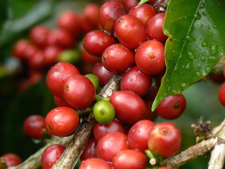 Colombian Direct Trade Coffee Beans Micro Lot San Pedro Red Cherries