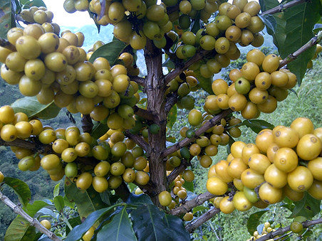 Colombian Direct Trade Coffee Beans Micro Lot San Pedro Yellow Cherries