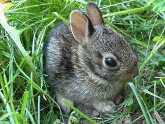"Boondock Outdoors  ""Boondock Baby Cottontail"" FREE digital sound file"