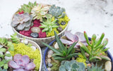 Succulents in Pottery