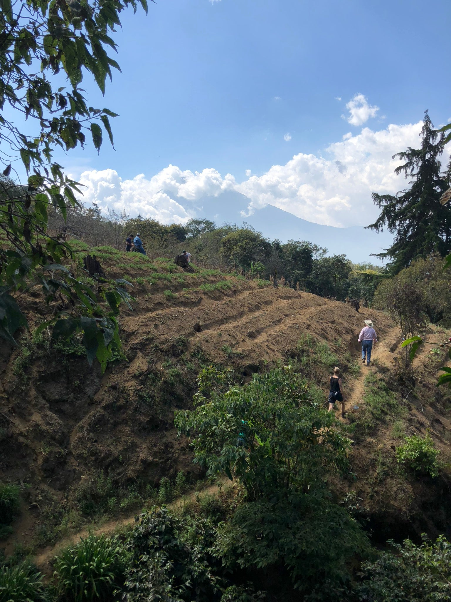 Walking through coffee trees on the side of a volcano south of Antigua, Guatemala