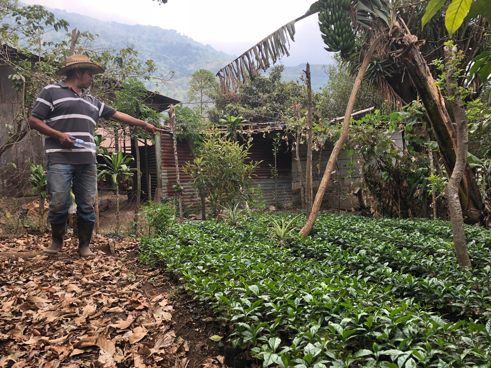 Pablo, leader of the Chochajau Collective in Pasajquim, Guatemala, surveying new seedling varietys of coffee plants.