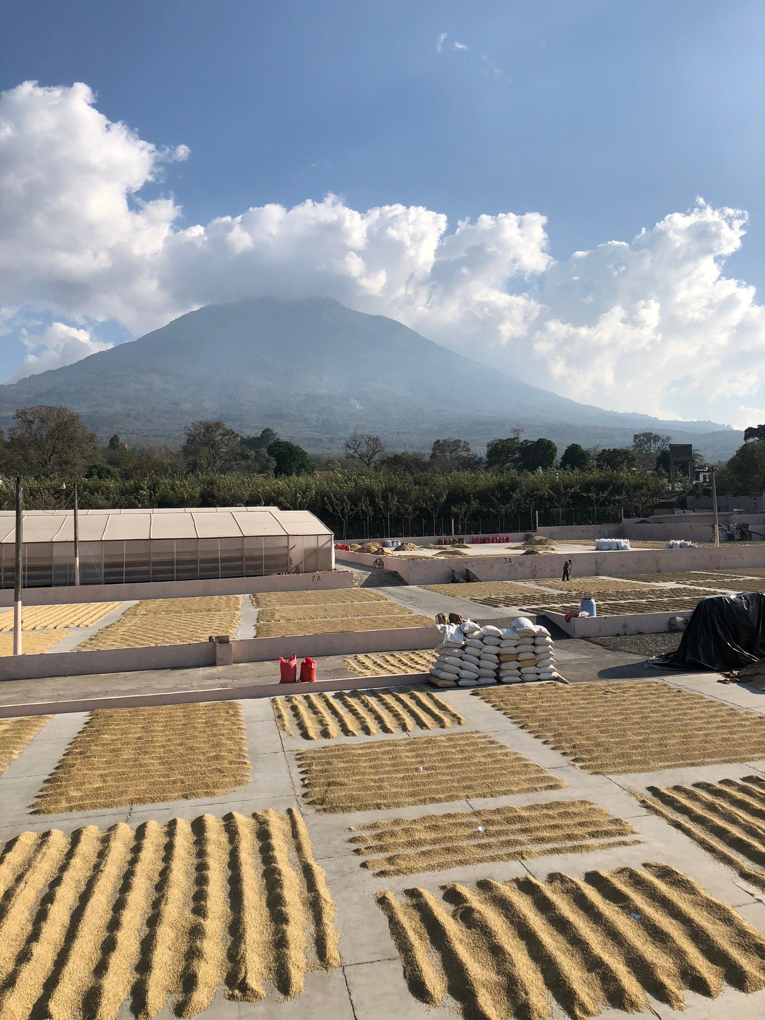 Green coffee patio drying at Bella Vista wet and dry mill near Antigua, Guatemala