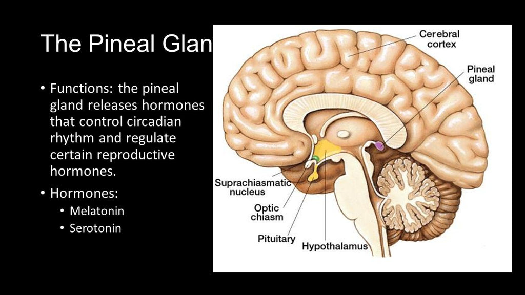 What Is The Pineal Gland and Why Is It Important? – Third Eye Sunglasses