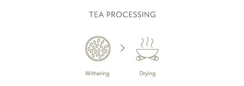 withering and drying tea processing