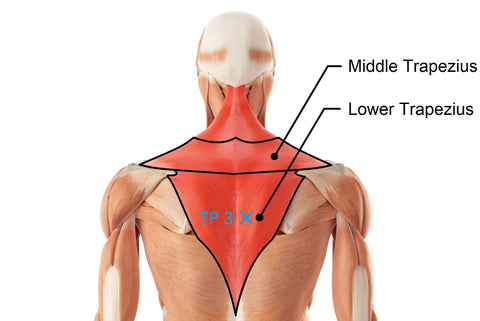 Middle Traps Trapezius Lower Traps Trapezius Trigger Point 3