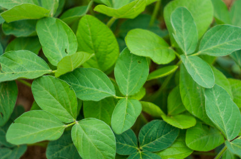 Alfalfa Green Manure - Seeds to Sow Limited