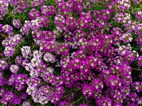 Alyssum - Golf Mixed - Seeds to Sow Limited