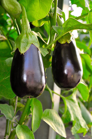 Aubergine Black Beauty - Seeds to Sow Limited