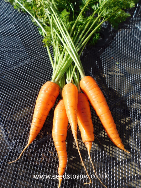 Carrot Autumn King 2 - Seeds to Sow Limited