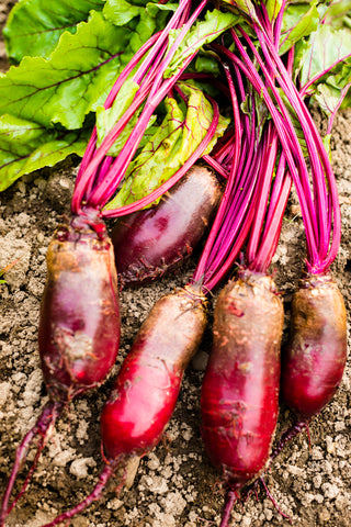 Beetroot Cylindra - Seeds to Sow Limited