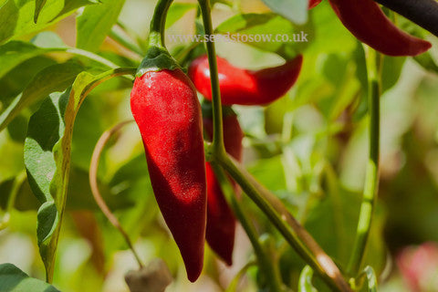 Chilli Big Jim - Seeds to Sow Limited