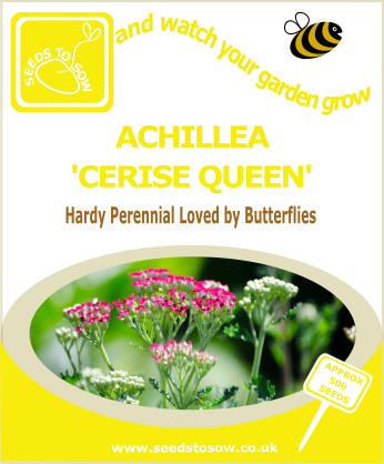 Achillea - Cerise Queen - Seeds to Sow Limited