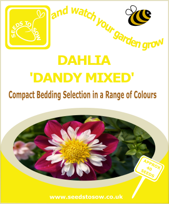 Dahlia - Dandy Mixed
