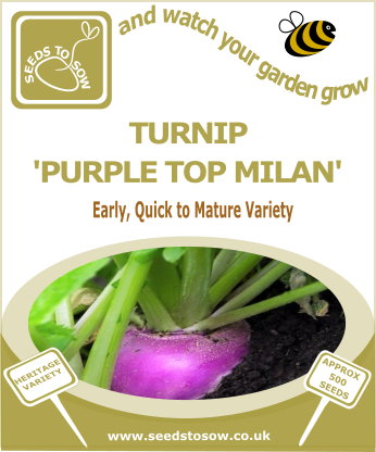 Turnip Purple Top Milan