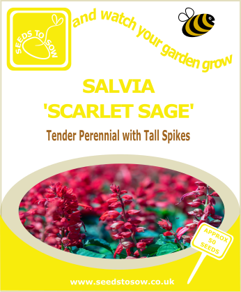 Salvia - Scarlet Sage - Seeds to Sow Limited