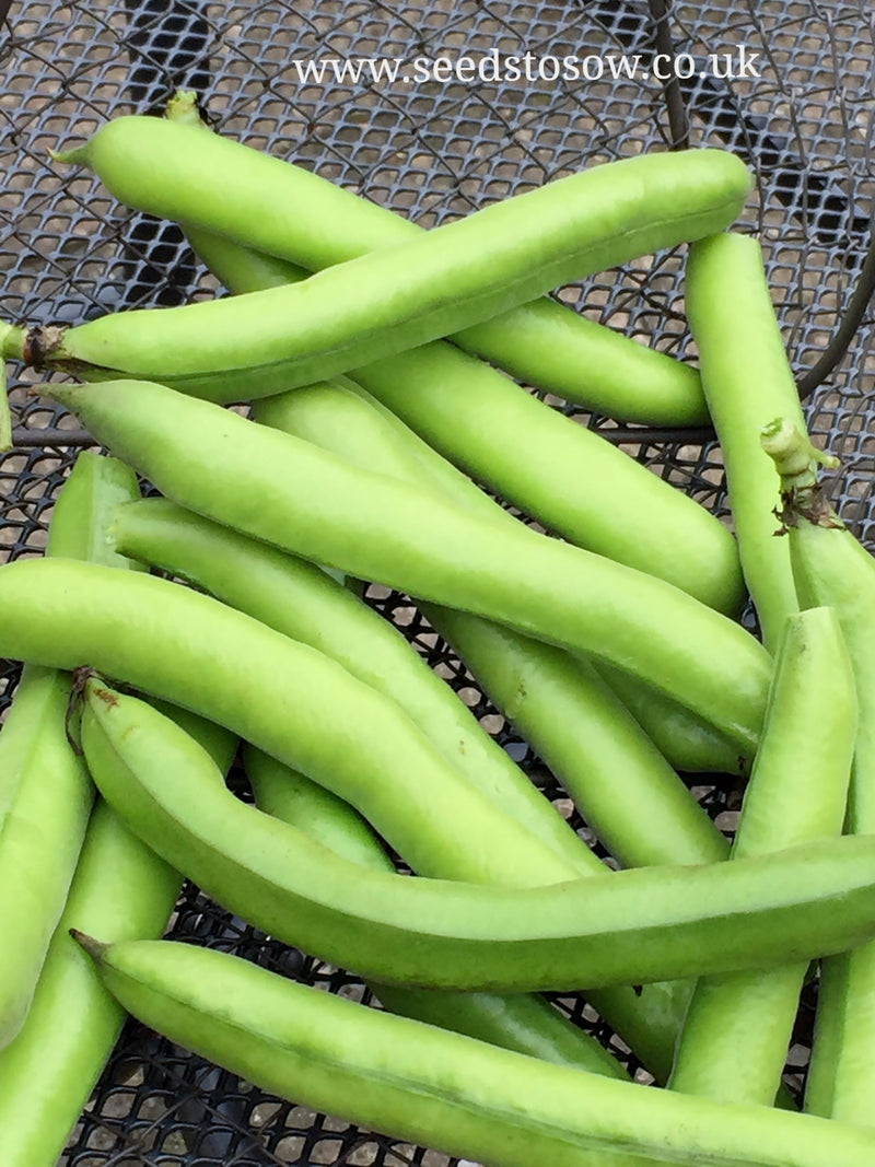 Broad Bean Aquadulce Claudia - Seeds to Sow Limited