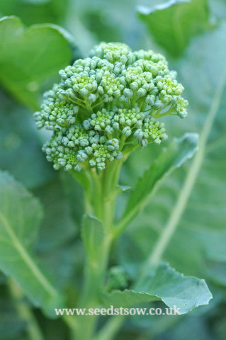 Calabrese Green Sprouting - Seeds to Sow Limited
