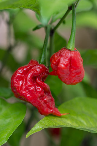 Chilli Carolina Reaper - Seeds to Sow Limited