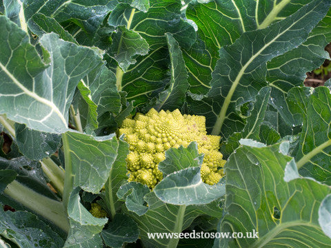 Cauliflower Romanesco Minaret - Seeds to Sow Limited